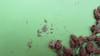 softstem bulrush - Schoenoplectus tabernaemontani (SCTA2)