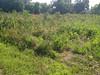 Woolgrass - Scirpus cyperinus (SCCY)