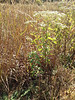 Lateflowering thoroughwort - Eupatorium serotinum (EUSE2)