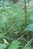 Swan's sedge - Carex swanii (CASW)