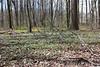 Virginia springbeauty - Claytonia virginica var. virginica (CLVIV)