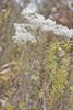 Hyssopleaf thoroughwort - Eupatorium hyssopifolium var. hyssopifolium (EUHYH)
