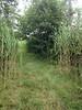 southern arrowwood - Viburnum dentatum (VIDE)
