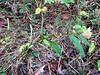 Partridge pea - Chamaecrista fasciculata (CHFA2)