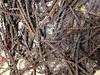 swamp verbena - Verbena hastata (VEHA2)
