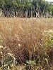 Indiangrass - Sorghastrum nutans (SONU2)