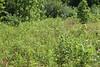 Virginia strawberry -Fragaria virginiana (FRVI)