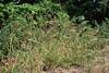 Southeastern wildrye - Elymus glabriflorus (ELGL3)