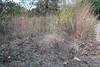 Purple lovegrass - Eragrostis spectabilis (ERSP)