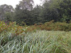 Silky dogwood - Cornus amomum (COAM2)