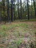 Slender woodoats - Chasmanthium laxum (CHLA6)