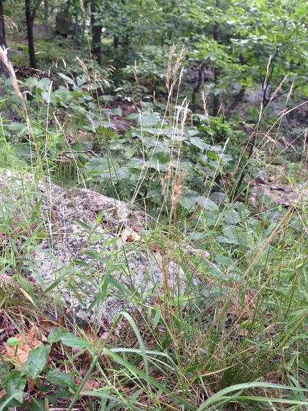 Poverty oatgrass - Danthonia spicata (DASP2)