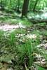 Pennsylvania sedge - Carex pensylvanica (CAPE6)