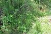 Pubescent sedge - Carex hirtifolia (CAHI5)