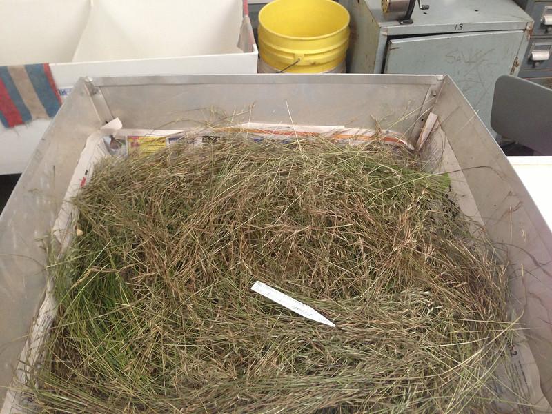 Flattened oatgrass - Danthonia compressa (DACO)