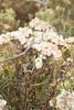 Flat-top goldentop - Euthamia graminifolia (EUGR5)