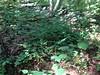 mapleleaf viburnum - Viburnum acerifolium (VIAC)