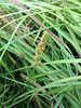 Fox sedge - Carex vulpinoidea (CAVU2)