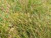 Common rush - Juncus effusus (JUEF)