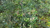 Spotted beebalm - Monarda punctata (MOPU)