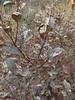 Maleberry - Lyonia ligustrina (LYLI)