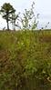 Virginia saltmarsh mallow - Kosteletzkya virginica (KOVI)