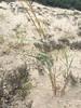 Bitter panicgrass - Panicum amarum (PAAM2)
