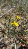 Narrowleaf silkgrass - Pityopsis graminifolia (PIGR4)