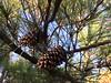 Loblolly pine - Pinus taeda (PITA)
