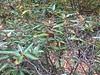 Mountain laurel - Kalmia latifolia (KALA)