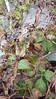 Virginia creeper - Parthenocissus quinquefolia (PAQU2)