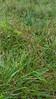 Beaked panicgrass - Panicum anceps (PAAN)