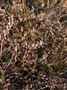 Lavender thrift - Limonium carolinianum (LICA17)