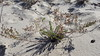 Beach pinweed - Lechea maritima (LEMA)