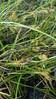 Shallow sedge - Carex lurida (CALU5)