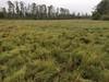 Saltgrass - Distichlis spicata (DISP)