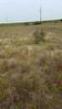 Indian blanket - Gaillardia pulchella (GAPU)