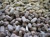 Amberique-bean - Strophostyles helvola (STHE9)