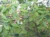 Allegheny serviceberry - Amelanchier laevis (AMLA)