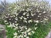 Beach plum - Prunus maritima (PRMA2)