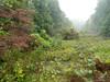 Flowering dogwood - Cornus florida (COFL2)