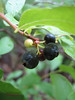 Black huckleberry - Gaylussacia baccata (GABA)
