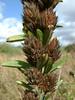 Roundhead lespedeza - Lespedeza capitata (LECA8)