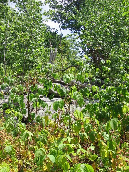 Allegheny blackberry - Rubus allegheniensis (RUAL)