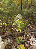 White wood aster - Eurybia divaricata (EUDI16)