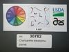 Chorizanthe brevicornu - brittle spineflower (CHBR)