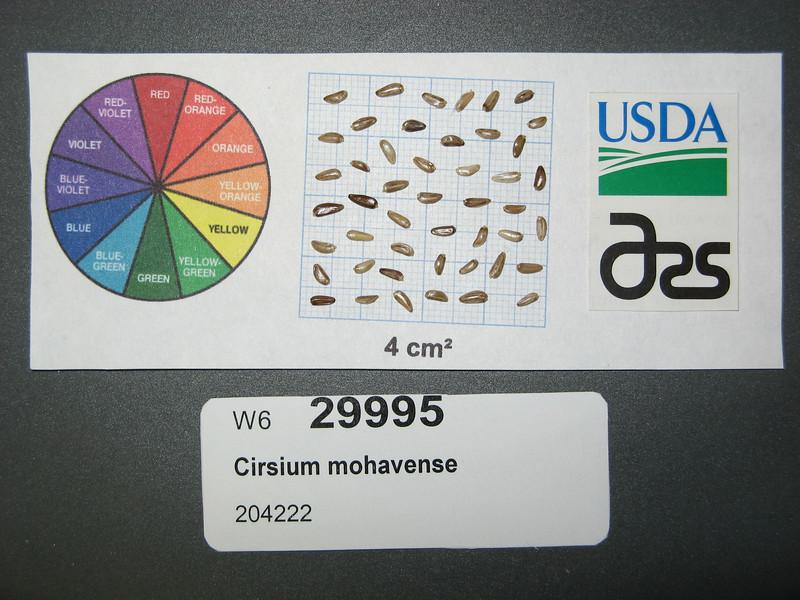 Cirsium mohavense - Mojave thistle (CIMO)