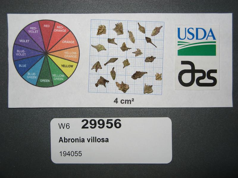 Abronia villosa - desert sand verbena (ABVI)