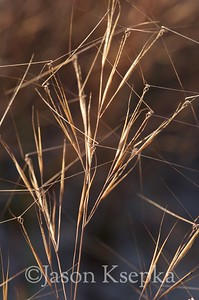 Aristida tuberculosa, Seaside Three-awn; Ocean County, New Jersey 2014-09-23   23