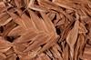 Chasmanthium latifolium, Sea Oats; Ocean County, Rare Earth Nursery, Delaware River, Pennsylvania stock, Jackson, New Jersey 2014-12-14